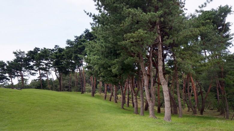 11 융건릉 소나무