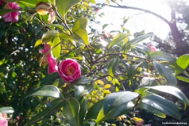 제주도의 동백, 꽃을 피우다