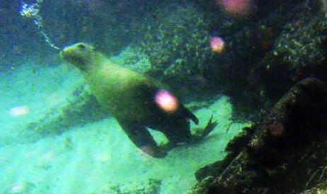 호주, 바다사자와 친구가 되는 스노클링 이야기