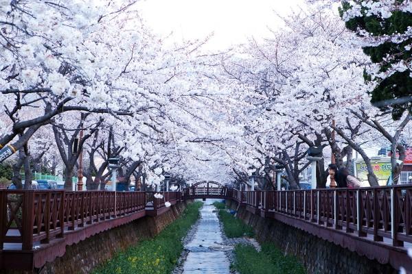 봄날, 진해로 떠나는 향긋한 벚꽃여행!