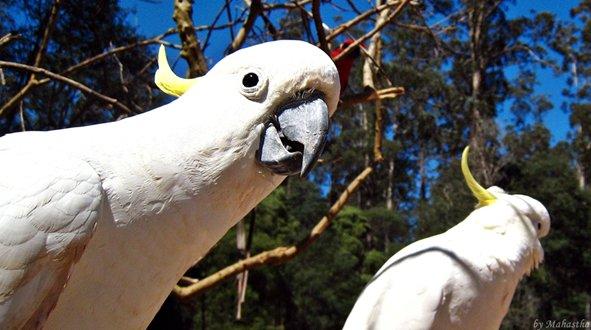 호주 단데농 마운틴의 야생 앵무새!