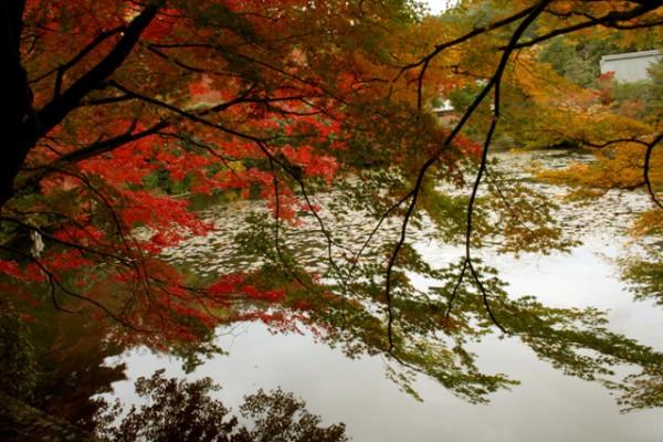 단풍에 물든 아름다운 교토의 가을 ②, 료안지(龍安寺)