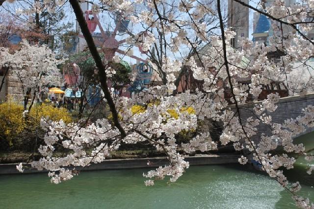 석촌호수 벚꽃여행, 도심 속 봄을 만나다.