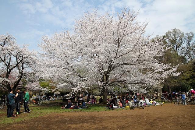 벚꽃 절정 도쿄! 4박5일 봄 스케치