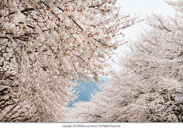 벚꽃놀이의 고유명사, 진해로 떠나다.