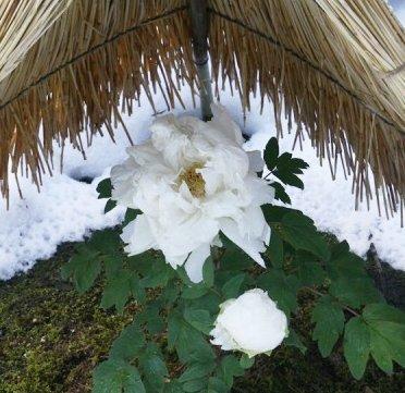 모란정원 유시엔, 정원에 핀 눈 속의 꽃