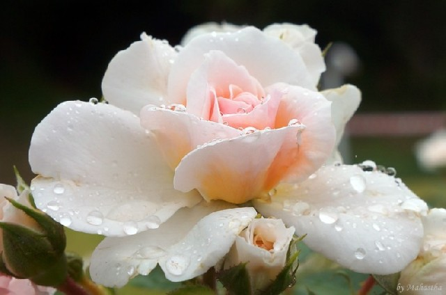 여기는 꽃천국, 울산 대공원 장미원