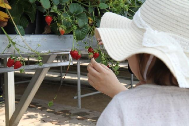 3살 조카와 자연 탐방, 화성시 딸기 농장 체험