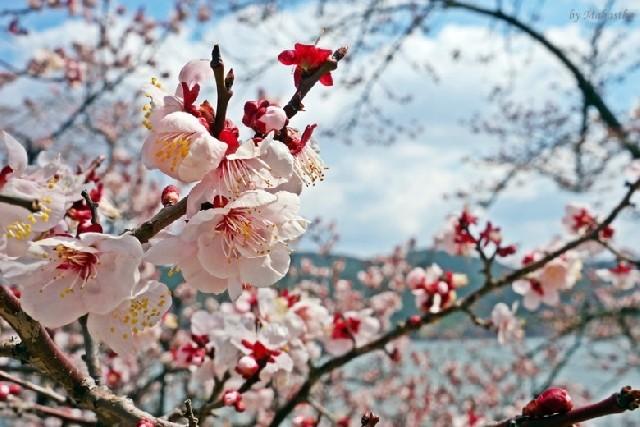 찬란한 경주, 보문호수 봄꽃놀이