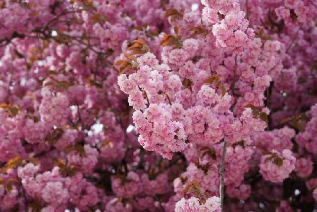 파리 벚꽃 명소는 쏘 공원(Parc de Sceaux)