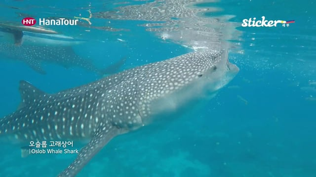 [세부여행]오슬롭 고래상어, Oslob Whale Shark/ 스티커, 하나투어